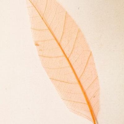 Feuille Skeleton orange (x12) REF/DEC342