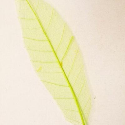 Feuille Skeleton vert menthe (x12) REF/DEC342